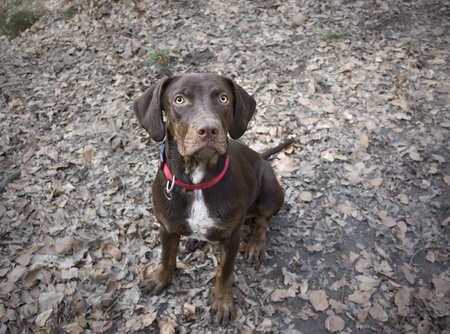 Young Brown Catahoula Leopard Dog in Wood photo