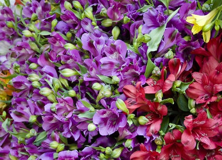 iridaceae: Sword Lilies, Violet and Red