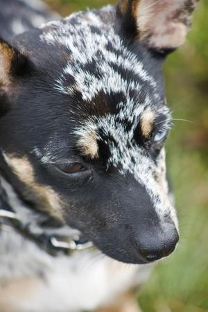 Tricolora Chihuahua Portrait photo