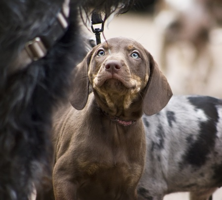 short hair dog: Young Brown Catahoula Leopard Dog - 7 weeks