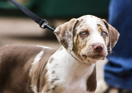Young Patchwork Catahoula Leopard Dog - 7 weeks photo