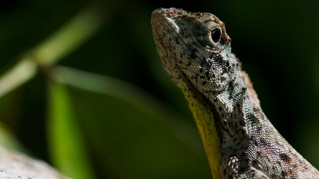 Draco volans, the common flying lizard, is a species of lizard endemic to Southeast Asia. lizard in wild 版權商用圖片