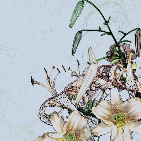imitations: floral design, imitation pencil drawings, lilies Stock Photo