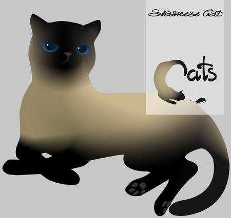 siamese: lying Siamese cat on gray background