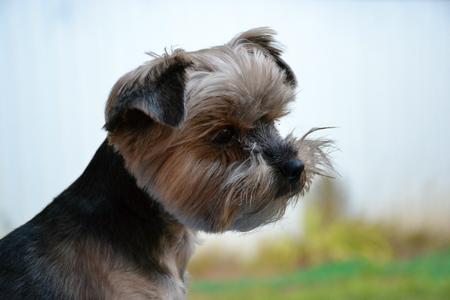 dog yorkshire terrier Stok Fotoğraf