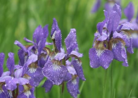 violet iris flowers in rainy day photo