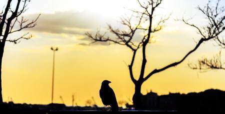 iluminado a contraluz: Crow de pie en la señal de imagen durante la luz del atardecer inversa para el diseño, horizontalmente imagen recortada