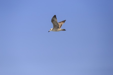 Single seagull bird flying under blue sky without cloud and anything Stock Photo