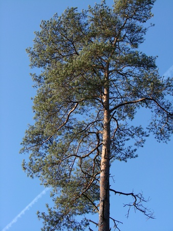 high mast tree, pine tree Stock Photo - 15702077