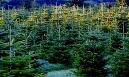 spar: dennenboom - Kerstbomen Stockfoto