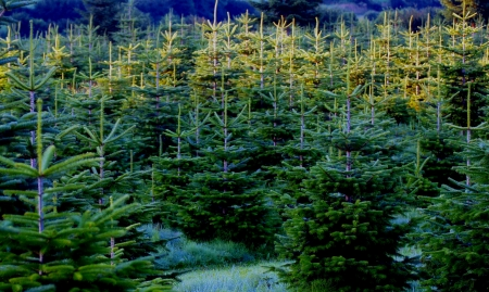 dennenboom - Kerstbomen Stockfoto