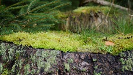 trunk  tree: viejo tronco de �rbol con musgo Foto de archivo