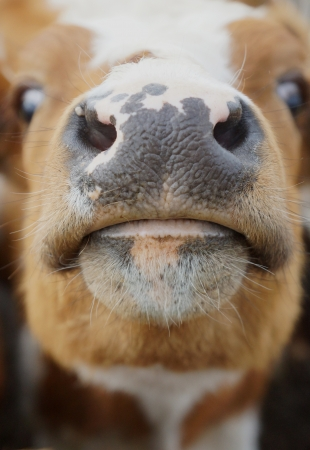 nose and mouth of a cow photo