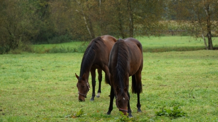 expiring: two horses grazing in the pasture