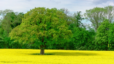 canola: large old oak and yellow flowering rapeseed field