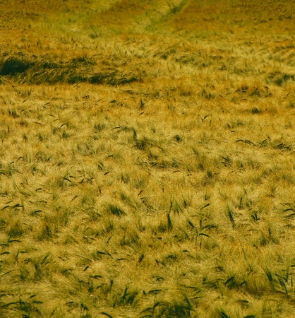 agri: cornfield - summer - background Stock Photo