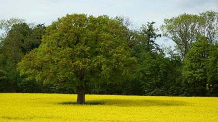 beautiful old protected oak and yellow rape field  photo
