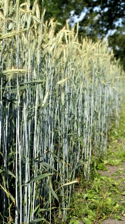 crop margin: nice corn field