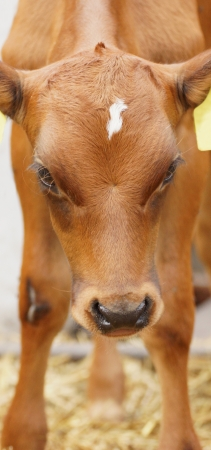 beautiful young brown calf still unsure on the legs photo