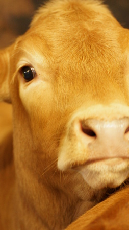 head and eye of a yellow cow without horns photo