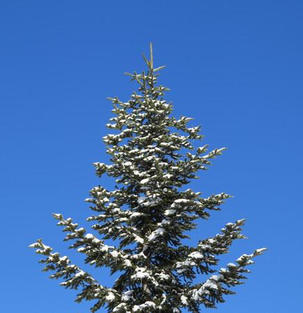 fir tree and snow photo