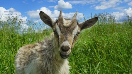 beautiful funny goat outdoors Stock fotó