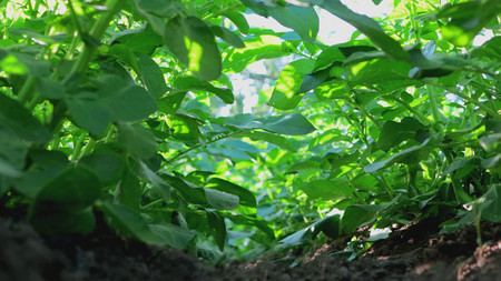 Potato cultivation and beautiful potato plants