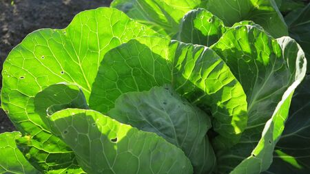 un healthy: beautiful healthy cabbage fresh from the garden