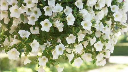lovely white petunia hanging flower for house and garden and balcony