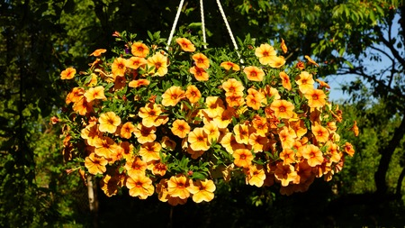 Beautiful orange and yellow Petunia hanging flower for house and garden and balcony Stock fotó