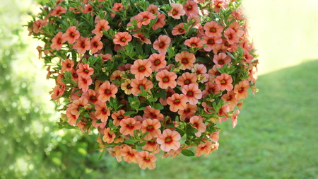 beautiful pink and pink petunia hanging flower for house and garden and balcony Stock fotó