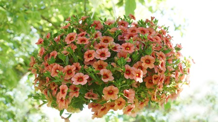 lovely pink and pink petunia hanging flower for house and garden and balcony Archivio Fotografico