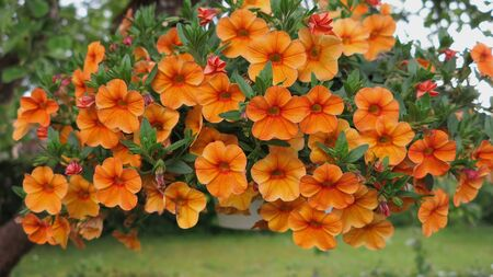 beautiful orange Petunia hanging flower for house and garden and balcony Stock fotó