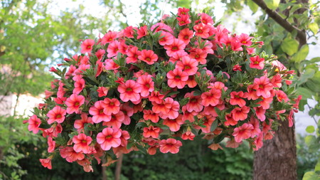 beautiful pink Petunia hanging flower for house and garden and balcony