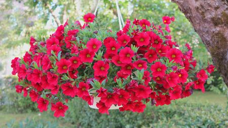 beautiful dark red petunia hanging flower for house and garden and balcony Stock fotó