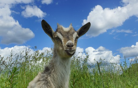 Beautiful young goat and grass and white clouds Stock fotó