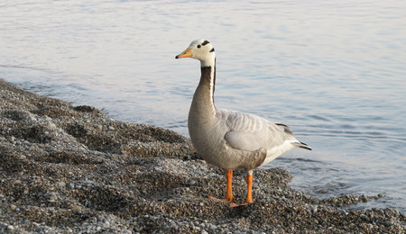 wild goose and shore and water