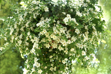 White hanging flower for house and garden and balcony Sutera Baja Stock fotó