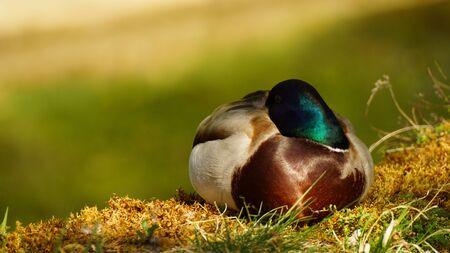 Beautiful Sleeping male duck