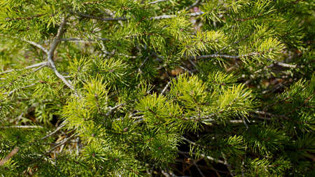 boughs: Beautiful pine boughs Stock Photo