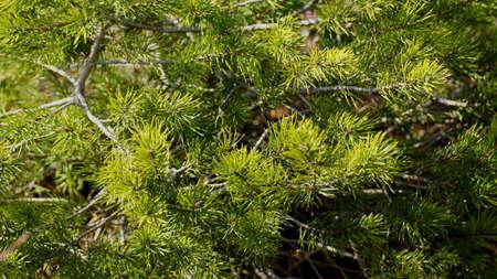 Beautiful pine boughs Stock fotó