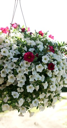 hanging flowers: beautiful hanging flowers Stock Photo