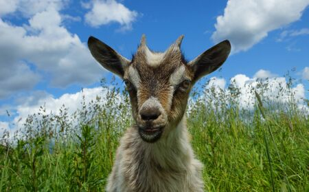 beautiful little goat outdoors Stock fotó