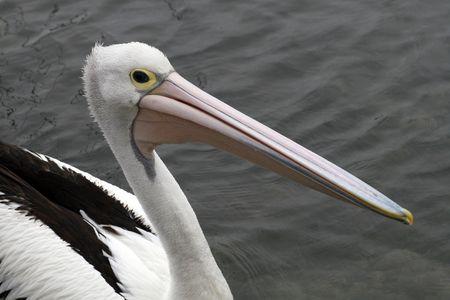 waterbird: pelican - waterbird