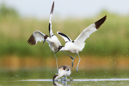 Fight of pied avocets Stock Photo