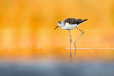 Juvenile black-winged stilt