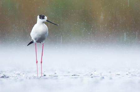 heavy rain: Black-winged stilt in heavy rain