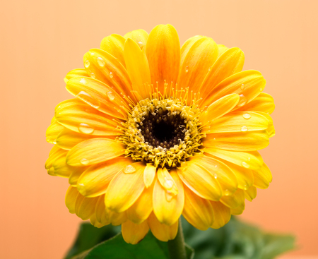 herbera: Yellow Gerbera with green leaves on the orange background. Close up, selective focus Stock Photo