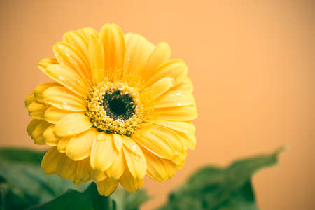 herbera: Yellow Gerbera with green leaves on the orange background. Close up, toned, selective focus