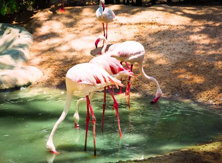 phoenicopterus: Pink Greater Flamingo (Phoenicopterus roseus). Wild life animal. Selective focus